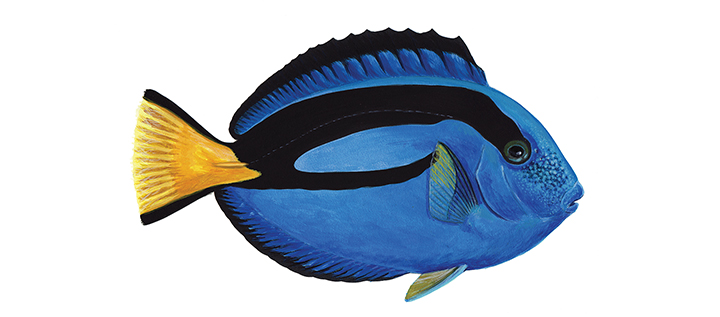 Blue Tang, Murray Itzkowitz, Lehigh University